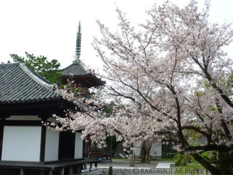 講堂前の桜